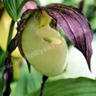 Single White Lady Slipper Flower Digital Printable Photo 5x7