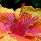 Macro Yellow Hibiscus Digital Printable Flower Photo 5x7