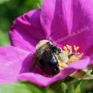 Bees On Pink Rose Digital Printable Flower Photo 5x7