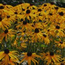 Black Eyed Susans Digital Printable Flower Photo 5x7
