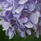Macro Lavender Hydrangea Digital Printable Flower Photo 5x7
