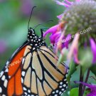 Monarch Butterfly On Flower Digital File Nature Photo 5x7