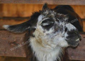 Black And White Llama Face Digital Printable Farm Animal Photo 5x7