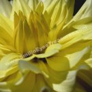 Macro Yellow Dahlia Digital Printable Flower Photo 5x7
