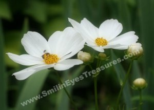 Cosmos And Bee Digital Printable Flower Photo 5x7