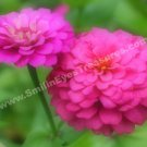 Pink Zinnias Digital Printable Flower Photo 5x7