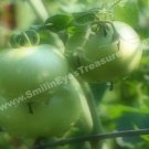 Green Tomatoes On Vine Digital Printable Nature Photo 5x7