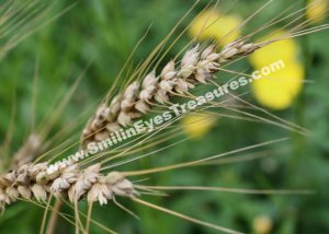 Macro Dried Grass Digital Printable Nature Photo 5x7