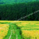 Field Of Yellow Flowers Digital Printable Photo Painting 5x7