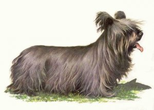 SILKY TERRIER Print -  Matted Vintage COZZAGLIO Print