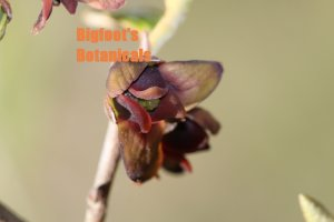 Dwarf Pawpaw Asimina parviflora