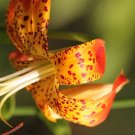 Carolina Lily Lilium michauxii (harvested 2016)seeds 25  Southeast Texas Native