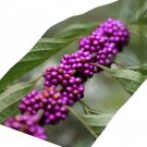 Crushed Beautyberry leaves Callicarpa americana