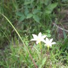 Zephyr Lily (Zephyranthes primulina) 12 bulbs yellow flowers reseeds easily
