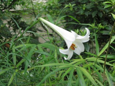 100 seeds Lilium philippinense Philippine Lily drought tolerant withstands mowing