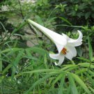 1 large bulb, Lilium philippinense,  Philippine Lily drought tolerant withstands mowing