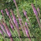 200 Blazing Star Liatris seeds
