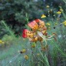 25 lilium michauxii seeds 2017