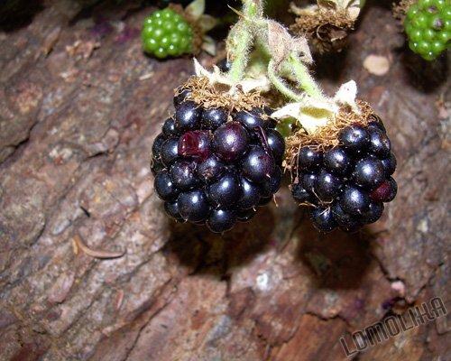 Blackberries - 8x10 - Original Fine Art Photograph - FREE SHIPPING