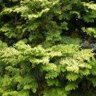 32+ Chamaecyparis Obtusa (Hinoki Cypress) seeds