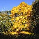 8 Carya Ovata (Shagbark Hickory) seeds