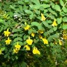 25+ Caragana Arborescens (Siberian Pea Tree) seeds