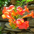 150+ Campsis Radicans ( Trumpet Creeper ) seeds. FREE S&H