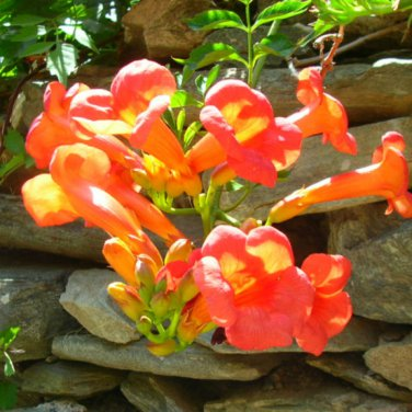 800+ Campsis Radicans ( Trumpet Creeper ) seeds. FREE S&H