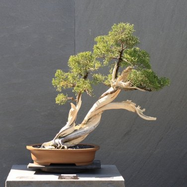 30+ Cedrus Libani Stenocoma ( Hardy Cedar of Lebanon ) seeds