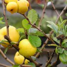 8+ Chaenomeles Japonica ( Japanese Quince ) seeds