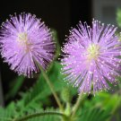 100+ Mimosa Pudica ( Sensitive Plant ) seeds