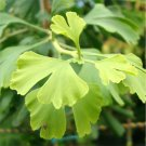 5+ Ginkgo Biloba ( Maidenhair Tree ) seeds