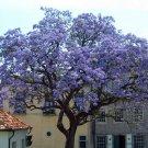 500+ Paulownia Tomentosa ( Princess Tree ) seeds. FREE S&H