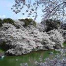 30+ Prunus Serrulata ( Mountain Sakura ) seeds