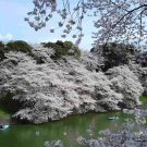 15+ Prunus Serrulata ( Mountain Sakura ) seeds. FREE S&H