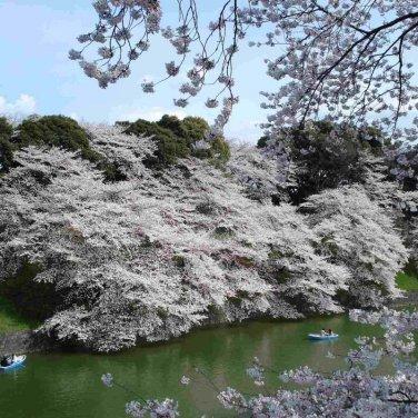 5+ Prunus Serrulata ( Mountain Sakura ) seeds