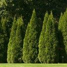 10+ Thuja Orientalis ( Oriental Arborvitae ) seeds