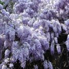 5+ Wisteria Sinensis ( Chinese Blue Wisteria ) seeds