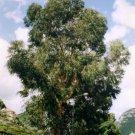 100+ Eucalyptus Globulus ( Tasmanian Blue Gum ) seeds