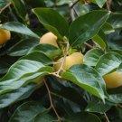 10+ Diospyros Virginiana ( Persimmon ) seeds
