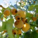 5 Diospyros Lotus ( Date Plum Persimmon ) seeds