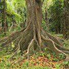 15+ Ceiba Pentandra ( Silk Cotton Tree ) seeds