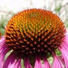 50+ Echinacea Purpurea ( Purple Coneflower ) seeds