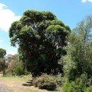 100+ Eucalyptus Botroydes ( Mahogany Gum ) seeds