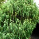 20+ Cupressus Himalaica Cashmiriana ( Weeping Kashmir Cypress ) seeds