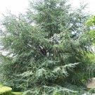 10+ Cedrus Atlantica ( Atlas Cedar ) seeds