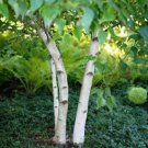 100+ Betula Fontinalis / Occidentalis ( Water Red Birch ) seeds