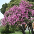 14+ Cercis Siliquastrum ( Judas Tree ) seeds