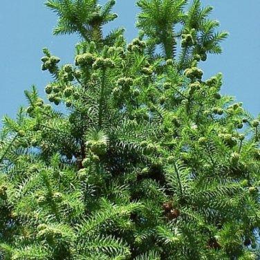 50+ Cunninghamia Lanceolata ( Chinese Cunninghamia ) seeds