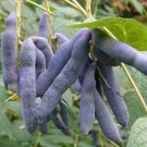 5+ Decaisnea Fargesii ( Blue Sausage Fruit ) seeds